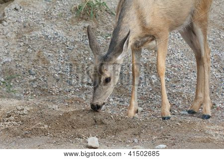 Roe Deer And Salt