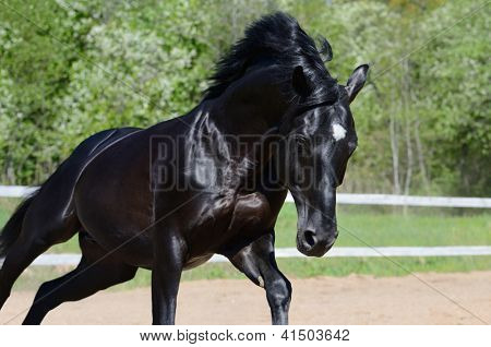 Black stallion of Russian riding breed in motion on manege