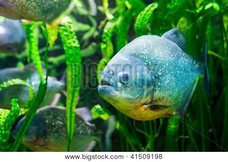 Piranha in tropical river