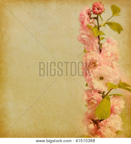 old paper texture with a branch of  beautiful pink flowers . Amygdalus triloba.