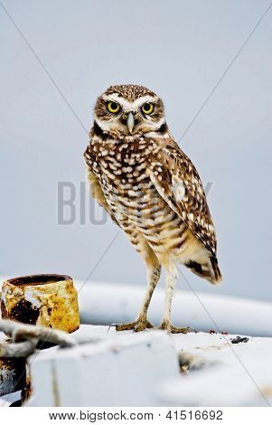 Perched Burrowing Owl