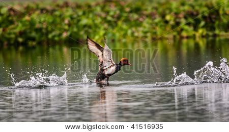 Red-crested Pochard, bird, Diving duck, Rhodonessa rufina, taking off to fly away, water, copy space