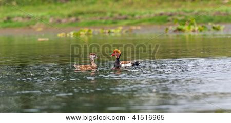 Two Red-crested Pochards,migratory, bird, Diving duck, Rhodonessa rufina,swimming in lake,copy space