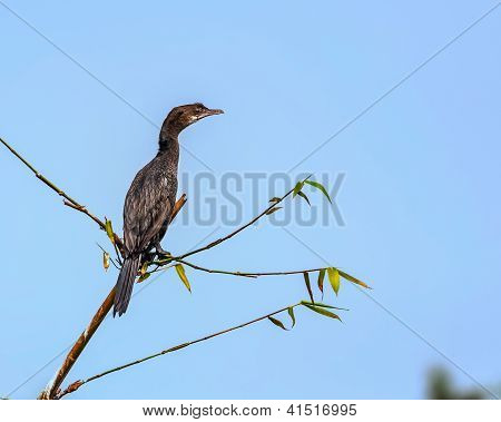 Little Cormorant, phalacrocorax niger, Bird,perched on a tree branch, copy space