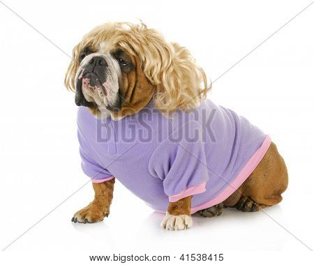 female bulldog wearing blonde wig and purple coat isolated on white background