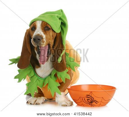 halloween dog - basset hound dressed up like a pumpkin sitting beside trick or treat bowl on white background