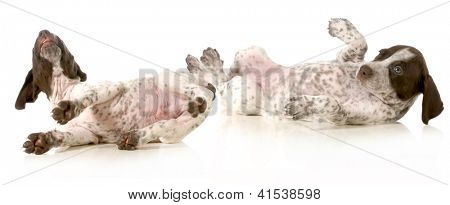 puppies playing - two german shorthaired pointer puppies rolling on backs isolated on white background - 5 weeks old