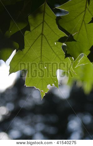 Green Maple Leaves On Sky Background