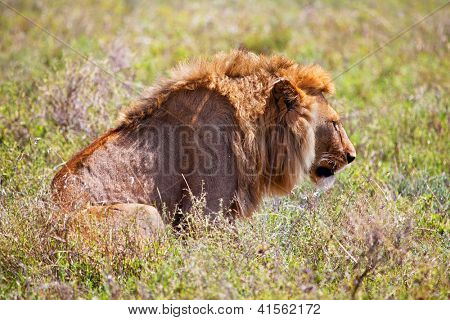 Young adult male lion on savanna in grass. Safari in Serengeti, Tanzania, Africa