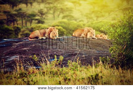 Lions lying on rocks on savanna at sunset. Safari in Serengeti, Tanzania, Africa