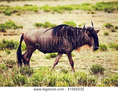 Wildebeest also called Gnu on African savannah in Serengeti, Tanzania