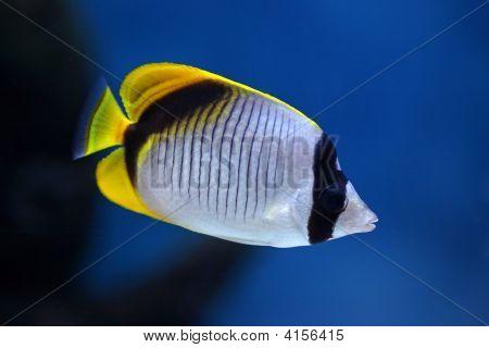 Fish Chaetodon Lineolatus