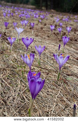 Crocus Bloom At Spring