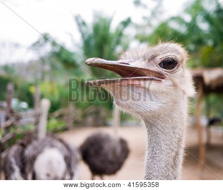 Ostrich With His Mouth Open