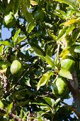 stock photo of avocado tree  - Green avocados on the tree in Brasil - JPG