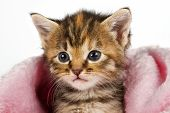 image of lovable  - Kitten in pink blanket looking alert and ready to play - JPG