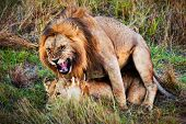 picture of copulation  - A couple of male lion and female lion copulation on savanna - JPG