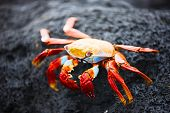 picture of blue crab  - Sally lightfoot crab on a black lava rock - JPG