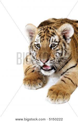 Siberian Cub