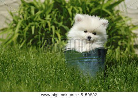 White Pomeranian Puppy In Metal Pail