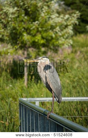 Great Blue Heron Perched On Metal Handrail