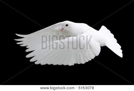 White Dove In Flight 12
