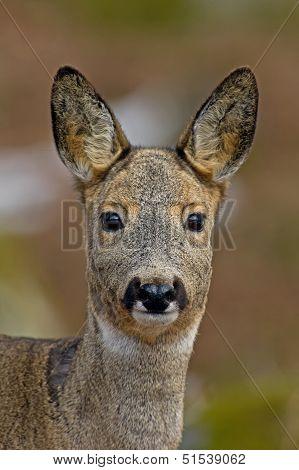 The Roe Deer (Capreolus Capreolus) Portriat