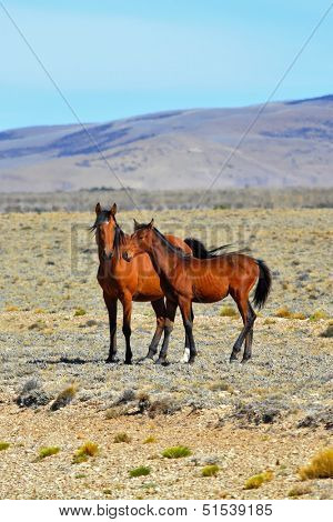 Bay horse with a foal grazing in the Patagonian plains. Argentina, summer. Patagonian pampas