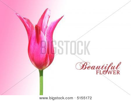 Tulip For Card Design