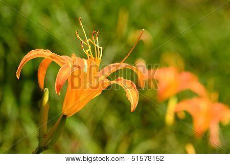 Tiger lily (Daylily) flower close-up