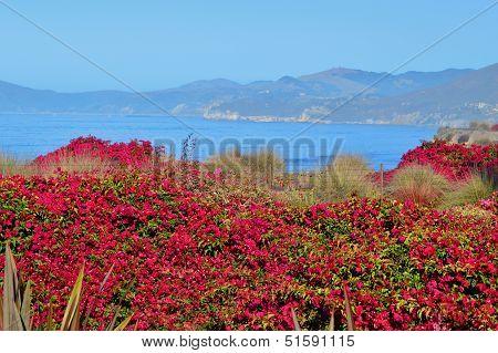 Fuchsia Bougainvillea on Ocean Bluffs