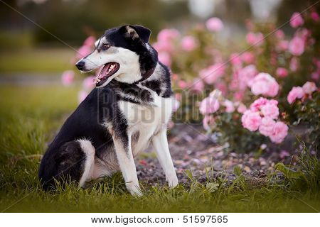 The Dog Sits Near A Rosebush.