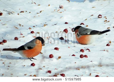 Bullfinch on snow
