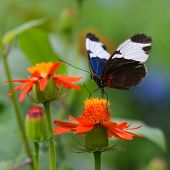 Butterfly - Blue and White Longwing - Heliconius Sydno