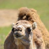 Camel head shot