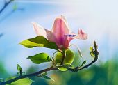 foto of saucer magnolia  - Pink abloom magnolia flower in sunny spring day with beautiful bokeh - JPG
