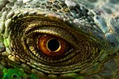 stock photo of lizard skin  - macro of a fantastic green iguana eye - JPG