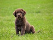 image of chocolate lab  - Cute labrador retriver puppy - JPG