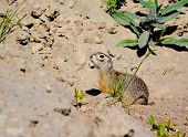 foto of gopher  - Rodents gophers are a vermin of the agriculture on Altai - JPG