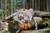 image of panthera uncia  - Snow Leopard Irbis (Panthera uncia) leopard looking ahead in zoo