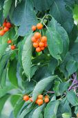 stock photo of bittersweet  - Small orange bittersweet berries on green leaves - JPG