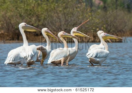Group Of Great White Pelicans Standing In Water