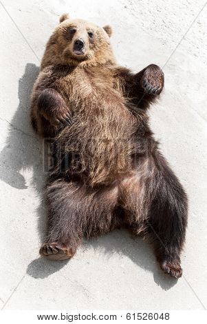 Brown Bear (ursus Arctos Arctos) Lying On The Ground