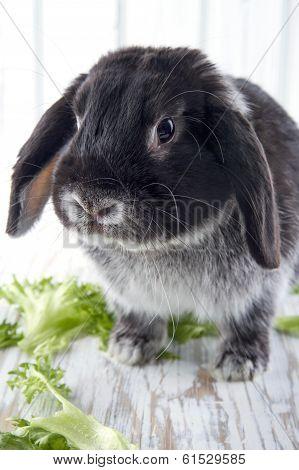 Black Lop Bunny Rabbit On White Wooden Studio Background