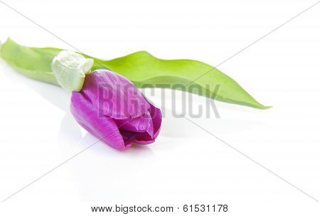 Pink Tulip In Closeup