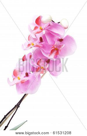 Pink Silk Orchid Flower In Closeup Over White Background