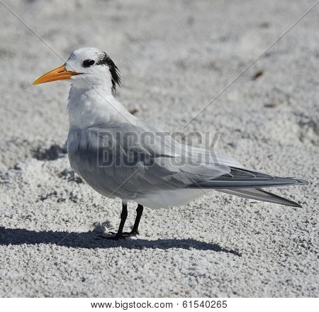 Elegant Tern Seabird Resting On The Beach