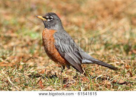 Female American Robin (turdus Migratorius)