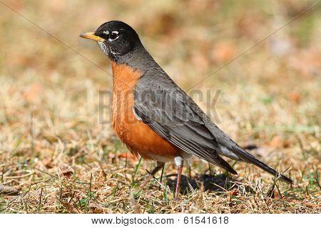 Male American Robin (turdus Migratorius)