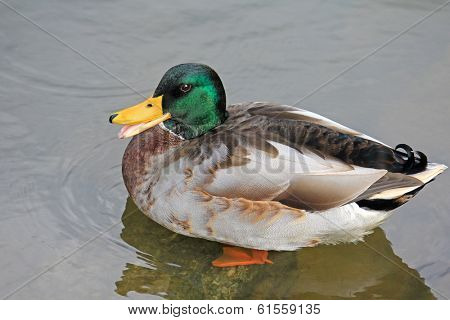 The Mallard, Wild Male Ducks standing on a rock in the Lake